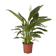 Peace lily in 17cm Pot