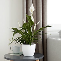 Peace lily in 21cm Pot