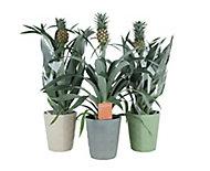 Pineapple plant in 12cm Assorted Ceramic Decorative pot