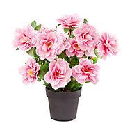 Pink Begonia Decorative plant
