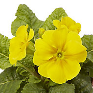 Polyanthus Mixed Autumn Bedding plant 10.5cm, Pack of 6