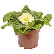 Primrose Yellow Spring Bedding plant, 10.5cm Pot, Pack of 6