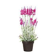 Purple Lavender Decorative plant