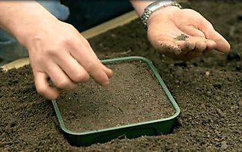 sowing seeds in a seed tray