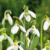 Snowdrops seeds