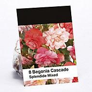 Splendide Mixed Begonia cascade Flower bulb