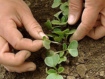 thinning salad seedlings