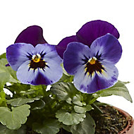 Viola Mixed Autumn Bedding plant 10.5cm, Pack of 6