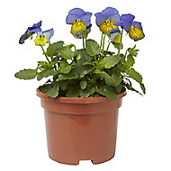 Viola Mixed Spring Bedding plant, 10.5cm Pot, Pack of 6