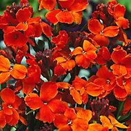 Wallflower Sunset Autumn Bedding plant 17cm, Pack of 2