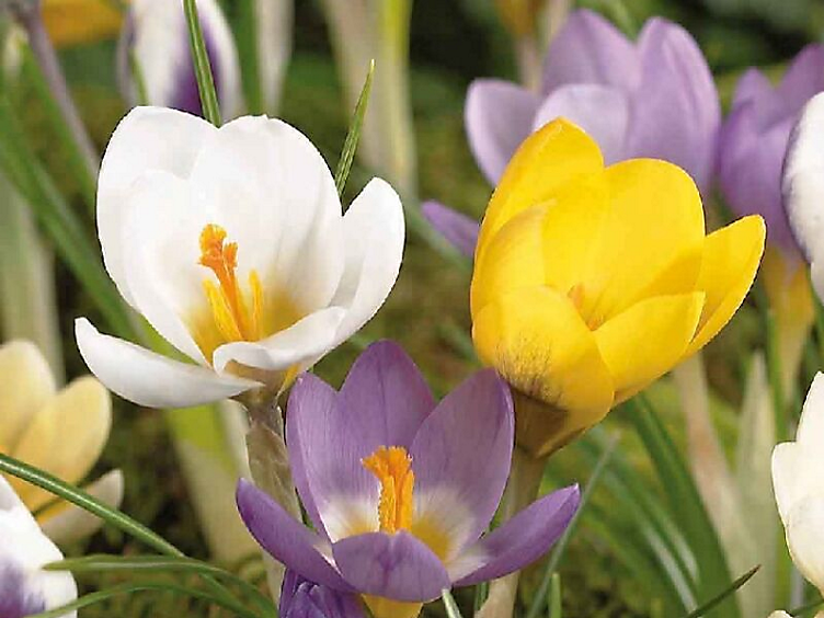 10 spring flowering bulbs to plant this autumn - crocus