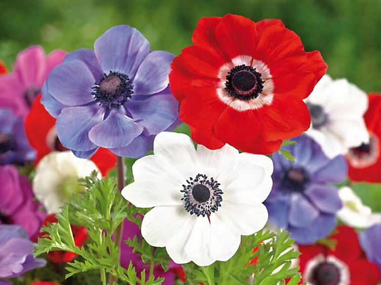 10 spring flowering bulbs to plant this autumn - Anemone