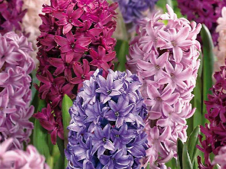 10 spring flowering bulbs to plant this autumn - Hyacinths