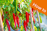 How to grow chilli peppers from seeds