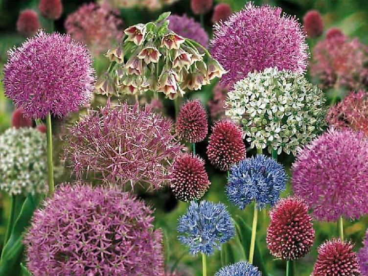 10 spring flowering bulbs to plant this autumn - Allium